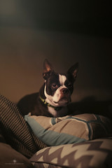 King of the hill (Rebecca812) Tags: dog night portrait pets bostonterrier cute comfortable cozy pillows couch lowlight lowkey animal rebecca812 canon