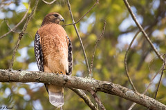 red-shouldered Hawk.-1721 (ELARBI TAOUIL) Tags: redshouldered hawk bird virginia wildlife portrait prey