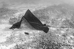 Eagle Ray (bodiver) Tags: hawaii keauhou ambientlight wideangle blackwhite ray