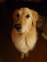 Sunny 42/52 (Lianne (calobs)) Tags: 52 weeks for dogs goldenretriever