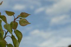 Ciruelo (AgusPalcze) Tags: ciruelo arbol tree primerplano primavera hojas leaves sky nubes cloudy cielo celeste verde colorful