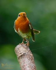 Robin (Explored 21 October 2016) (ABPhotosUK) Tags: animals birds bokeh canon chatsandthrushes dartmoor devon ef100400mmisii eos7dmarkii erithacusrubecula garden robin turdidae wildlife