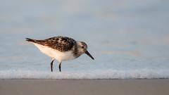 Sanderling (Bill'sLIPhotos) Tags: ny newyork bird beach nature water canon eos li sand wildlife bub