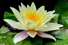 132_1092 (J Rutkiewicz) Tags: flower rain waterlily flor podeszczu manufar