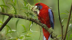 Crimson Rosella (Edwinna Bartley) Tags: nsw australianbirds southernhighlands crimsonrosella platycercuselegans