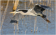 Airone cenerino (Fausto Deseri) Tags: greyheron ardeacinerea aironecenerino sitodimanzolino wild nature birds wildlife oasiditivolimanzolino pentaxk3 pentaxfa300mmf45edif tckenkoaf15x