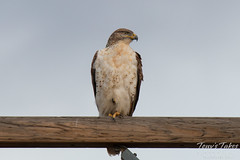 Handsome Ferruginous Hawk