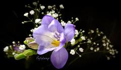 Make Me Happy (Pufalump) Tags: flowers winter white black cold macro green nature yellow happy petals cheery purple display sony lilac buds brighten freesia gypsophilia greatphotographers
