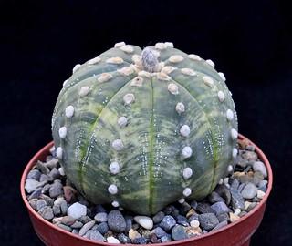 4-a Astrophytum asterias variegata-d.7-h.5