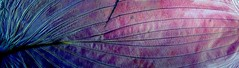 img355 (PanoramicTom) Tags: pink blue color macro nature leaves leaf intense experimental scan scanned dried bold