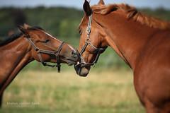 Paarden (SvdS Fotografie) Tags: horses netherlands nederland groningen dieren paarden
