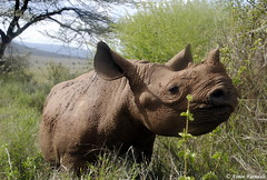 Kalifi the Rhino (Aimzeee) Tags: africa animal mammal kenya wildlife young orphan rhino horn calf blackrhino poaching