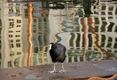 Hi there .... : ) (mennomenno.) Tags: bird reflections rotterdam coot vogel meerkoet reflecties leuvehaven maritiembuitenmuseum