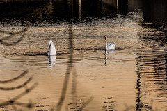 One up one down (Traveller_40) Tags: building water river wasser swans 365 isar schwan gebude pictureaday flus guesswheremunich 3652015 20140106365