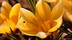 addicted to sun - EXPLORED (Isabel Julia) Tags: macro berlin primavera nature germany garden deutschland spring blossom natur crocus explore blte garten krokus frhling 2015