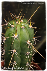 Trichocereus peruvianus 'Ayacucha' [Peru] (farmer dodds) Tags: cactus peru cactaceae mescaline echinopsis trichocereus trichocereusperuvianus echinopsisperuvianus trichocereusperuvianusayacucha