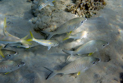 Mojarras and Goatfish (Chalto!) Tags: africa fish swimming swim underwater snorkel redsea egypt snorkeling snorkelling reef coralreef goatfish mojarra