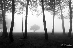 mysterious forest in black and white (Mimadeo) Tags: morning trees light blackandwhite white mist black tree monochrome silhouette misty fog mystery forest landscape leaf haze branch moody foggy mysterious trunk hazy