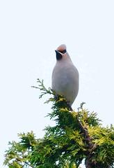 DSC_3292 Pestvogel