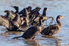 24122014-579A5100 (PHILMARC) Tags: great grand cormorant  oiseaux domaine cormoran  carbo phalacrocorax mazeres phalacrocoracids plcaniformes philmarc