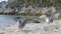 Seagulls on the beach (Paco_NaturePhotography) Tags: seagulls beach birds strand gaivotas gulls vogels aves uccelli pájaros gaviotas gabbiani oiseaux passaros mouettes mowe vogeln playaplage