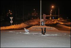Rondell tjädrar (Jonas Thomén) Tags: snow night finland flash roundabout abc snö natt pietarsaari rondell jakobstad blixt jeppis roundaboutart rondellhund rondellkonst rondelltjäder rondellfågel