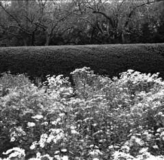 garden (evgenia.sizanyuk) Tags: blackandwhite newyork film nature mediumformat garden centralpark 120film filmcamera blackandwhitefilm iskra