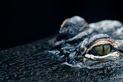 Sly Eyes (Will Ballard Photography) Tags: wild color macro eye nature canon aquarium eyes wildlife alligator 100mm aligator croc