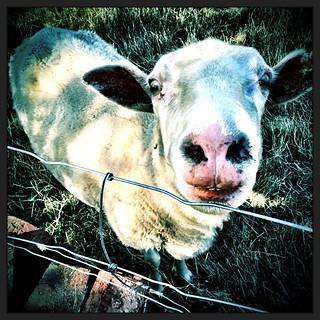 045/365 • sheepish • #045_2015 #sheep #housesitting #nofixedaddress #littlefarm #evening #endoftheday #morningtonpeninsula