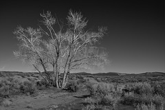 IMGP0413 (Never Off) Tags: bw white black tree one desert pentax nevada brush sage sierra dirt da land waste capture sagebrush wasteland k3 f3556 18135mm