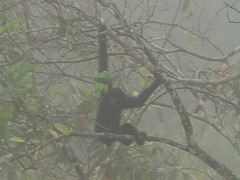 Gibbon Swinging in the Trees