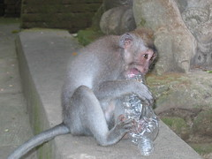 Macaque and Bottled Water