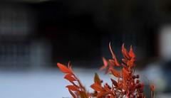 flourishing in snow (gwuphd) Tags: red snow zeiss vintage dof bokeh jena nandina f35 105mm tessar heavenlybamboo sacredbamboo bentzin primaflex