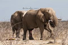 Happiness! (cocciula) Tags: africa elephant animals fauna namibia viaggio animali vacanza etosha olifant elefante 2014 contento loxodontaafricana elefanteafricano africanmammals etoshanationalpark faunaafricana duegiridiruote