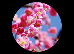 "Full bloom (karakutaia) Tags: sun tree love nature japan paper temple tokyo heart afotando ""flickraward"" flickrglobal allbeautifulshotsandmanymoreilovenature flowerstampblackandwhite transeguzkilorestreetarturbanagreatshotthisisexcellentcontestmovementricohgxr""serendipitygroupbluenatureicapturecardjapanesepapercardflickraward5""j trasognoerealtabstractelementsorganizersimplysuperb"