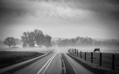 cow in the fog (Jen MacNeill) Tags: road blackandwhite bw lines weather animal misty fence cow driving cows pennsylvania farm foggy pa jersey strasburg lancastercounty bovine leading littledoglaughednoiretblancet