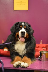 new york city dog dogs westminster grooming american dogshow breed westminsterkennelclub conformation