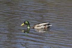 IMG_7884 (armadil) Tags: bird birds oregon duck spring ducks eugene deltapond