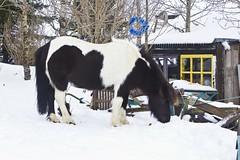 Hnefi (ingolfssonvalur) Tags: horses pony icelandic hestar grafningur hnef