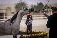 2015 Qatar Straight Egyptian Arabian Horse Show (www.ziggywellens.com) Tags: show horse egyptian straight qatar 2015 canoneos5dmarkiii