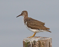 Perplexing Spotted Sandpiper (Keith Carlson) Tags: sandpipers shorebirds spottedsandpiper actitismacularius