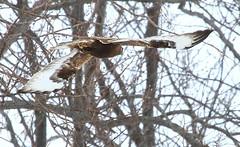 rough-legged hawk 2 near Lime Springs IA 854A2607 (lreis_naturalist) Tags: county hawk howard reis iowa larry springs lime roughlegged