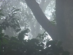 Orangutan Swinging Through the Treetops in Danum Valley
