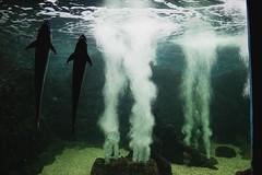 (dawd) Tags: sea brazil naturaleza white black nature beauty animal animals rio brasil natal photography penguin aquarium mar grande do natureza peixe aquarius aqurio norte remora pingim rmora