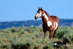 A DREAM ... (Aspenbreeze) Tags: horse nature rural wildlife wildhorses stallion wildhorse wildstallion coloradowildlife wildhorserange aspenbreeze moonandbackphotography bevzuerlein sandwashbasignwildhorsemanagementarea