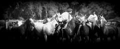 Haciendo un alto (Eduardo Amorim) Tags: cavalos caballos horses chevaux cavalli pferde caballo horse cheval cavallo pferd cavalo cavall tropilla tropilha herd tropillas tropilhas     crioulo criollo crioulos criollos cavalocrioulo cavaloscrioulos caballocriollo caballoscriollos ayacucho provinciadebuenosaires buenosairesprovince argentina sudamrica sdamerika suramrica amricadosul southamerica amriquedusud americameridionale amricadelsur americadelsud eduardoamorim gaucho gauchos gacho gachos