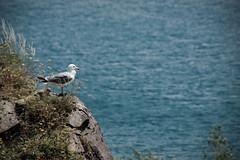 Watcher of Lake (anmahooo) Tags: blue mountain lake mountains bird nature birds canon landscape seagull caucasus armenia land sevan canon70300mm canonphotography sevanlake canon550d
