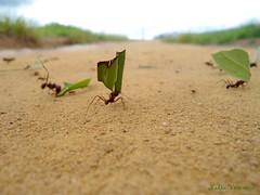 Trabalhando/ Working/ Bei der Arbeit! (nadia.veronica) Tags: ameisen ants formigas insekt insect inseto weg way caminho