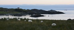 Sheep and ship (evenharbo) Tags: sunset summer sky nature norway norge nikon ship sheep rogaland fjordline vigdel nikond7100