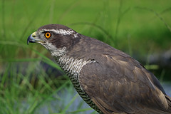 Sparrowhawk (TonyKRO) Tags: bird nature eyes hawk wildlife beak feathers raptor ornithology avian birdofprey sparrowhawk accipiternisus